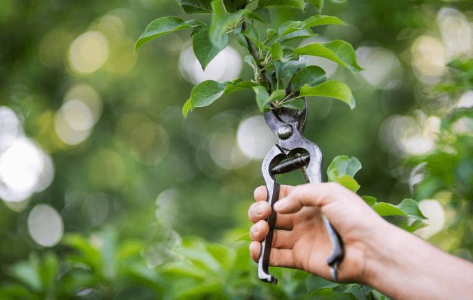 Une main coupe une branche d'un pommier avec un sécateur